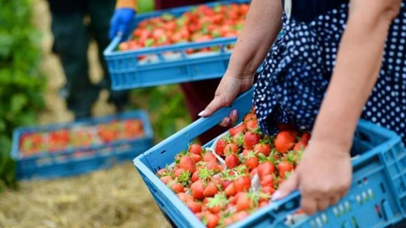 Търсят се 800 кандидати за бране на ягоди в Испания
