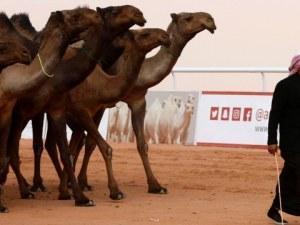 Абу Даби създава полицейски патрули, придвижващи се с камили