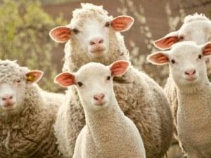 Ку-треска е открита по овце във Видинско, заразен е и мъж