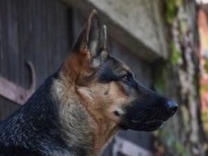 Две кучета нахапаха млада жена