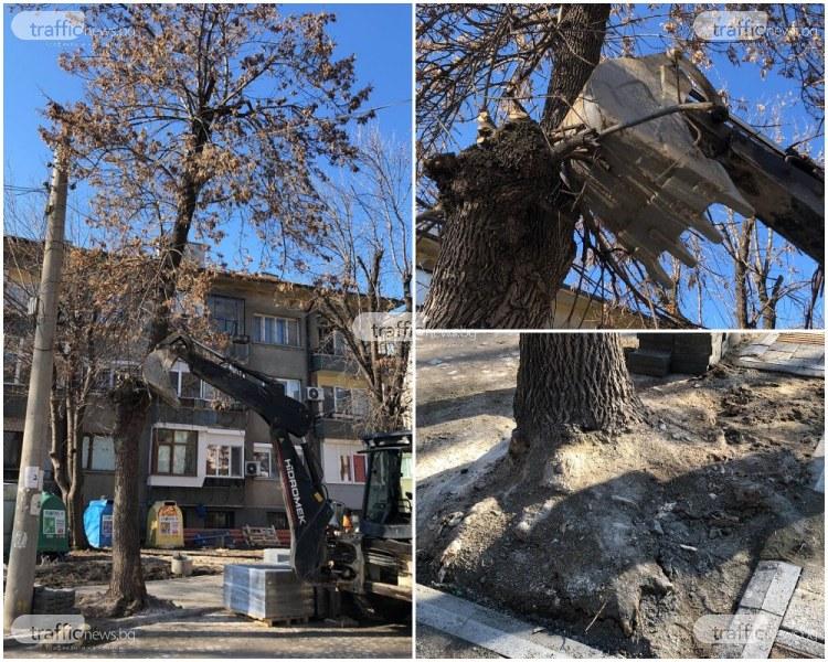 Дърво тръгна да пада в центъра на Пловдив! Подпряха го с багер СНИМКИ
