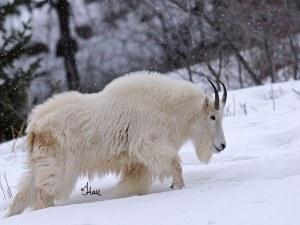 Железничари в Австрия спряха влак, за да спасят дива коза ВИДЕО