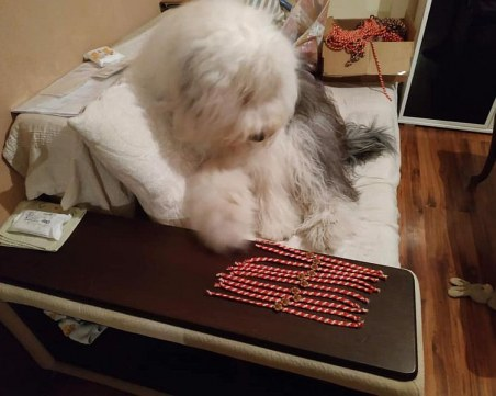 Бобтейлът Мон участва в плетенето на мартеници за дете в пловдивска болница СНИМКИ