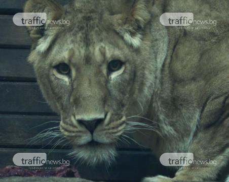 Как да нахраниш звяра показаха в столичния зоопарк СНИМКИ
