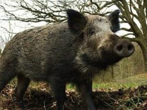 Над 100 души са яли заразено месо от глигани! Изследват ги