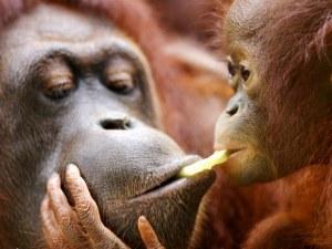Орангутан откъсна пръста на жена