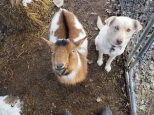 Изчезнало куче се завърна у дома...с коза ВИДЕО