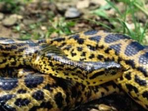 Змията в Гранда е локализирана! Оказа се жълта анаконда