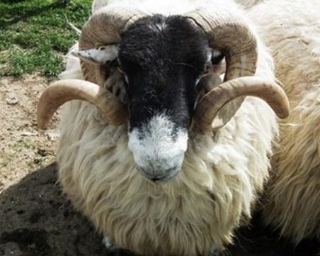 Работник във ферма в Пазарджишко не си хареса заплатата, задигна животни