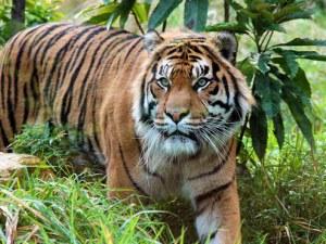 Тигрица от зоопарка в Лондон бе убита от потенциалния й партньор