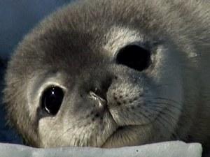 Тюлени окупираха плаж в Калифорния