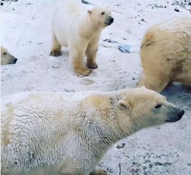 Нашествие от бели мечки в руски град! Обявиха извънредно положение ВИДЕО