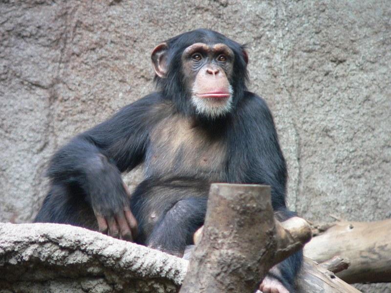 Шимпанзе си направи стълба от клонки, за да избяга от зоопарк ВИДЕО