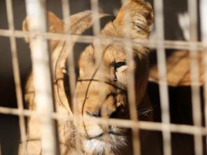 Извадиха ноктите на лъв в зоопарка в Газа, за да се държи