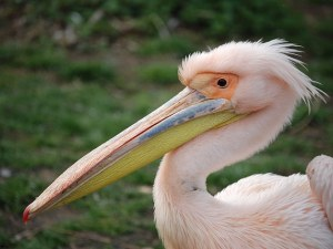 Розовият пеликан, прострелян от бракониери край Бургас, вече е на свобода