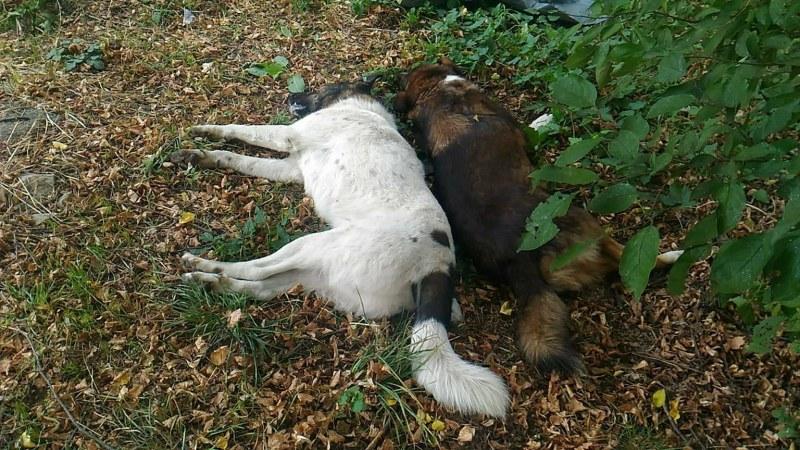 Трупове на кучета стреснаха жители на Кричим, опасяват се, че са отровени
