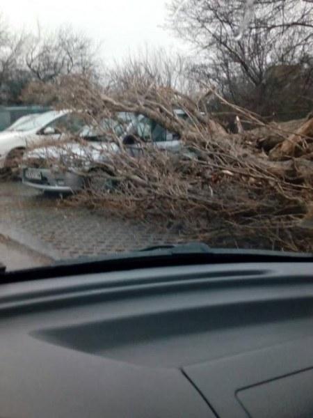 Буря събори топола в Добрич. Смазани са няколко леки коли СНИМКИ