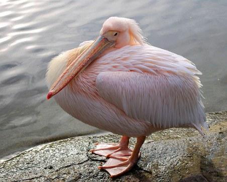 Първите пеликани за 2019 г. се излюпиха в
