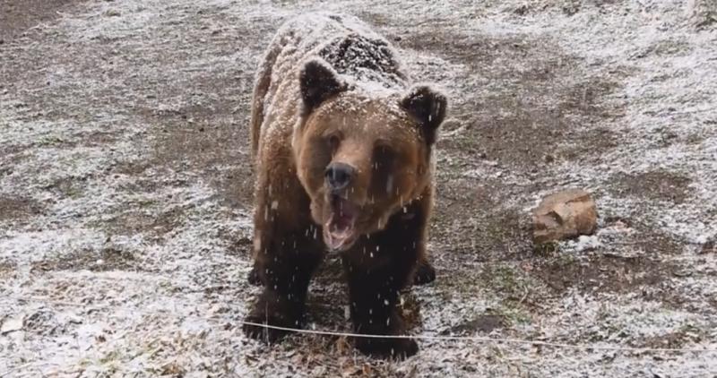 Мечок се събуди от зимен сън в Парка за танцуващи мечки в Белица ВИДЕО