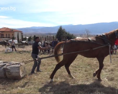 Най-силният кон в Ново село - член на семейството, хранят го по-добре от жените ВИДЕО и СНИМКИ