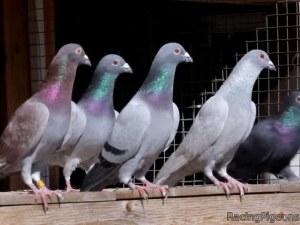 Рекорд! Продадоха пощенски гълъб за 1,25 милиона евро