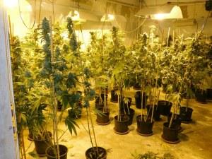 Над 700 канабисови растения  иззети от габровския завод