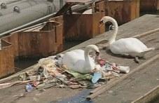 Двойка лебеди си направи гнездо сред боклуци, разби сърцата на хиляди ВИДЕО