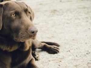 Отровен лабрадор в Чепеларе? Кучето погълнало храна на улицата