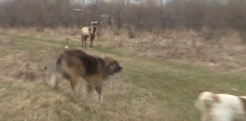 Чипирани кучета нападат в столичния парк