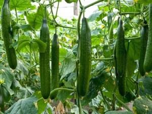 Търговски трикове: Краставицата: 1,60 лева от оранжерията, на пазара – 3,60