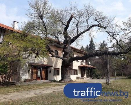 260-годишен дъб расте в двореца Кричим