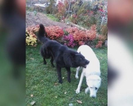 Без намордник, без каишка... Куче нахапа 8-годишно дете в Биволаре