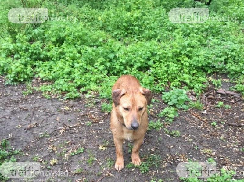 Домашно куче се лута из Тракия в Пловдив! Някой познава ли го?