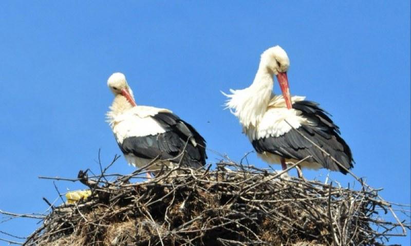 Японско семейство осинови гнездо на щъркели в българско село