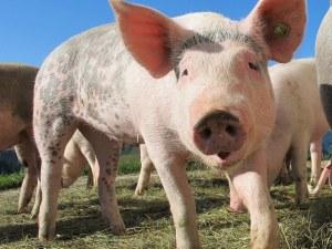 Учени с пробив: Мозък на прасе съживен, часове след неговата смърт