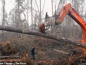 Орангутан и багер в битка за територия. Един брани дома си, друг – бизнеса!?