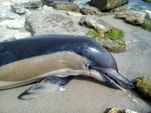Скутер, движил се с бясна скорост, блъсна и уби делфин в Балчик