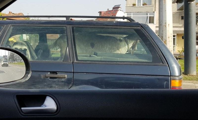 Преди Великден: Кола из улиците на София, а на задната седалка... коза