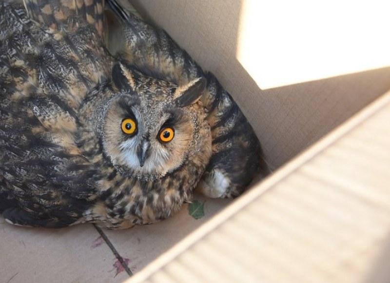 Спасиха бедстваща бебе сова в Пловдив