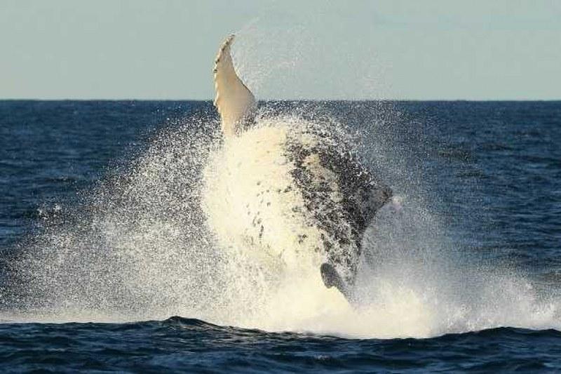 Норвежци алармират: Русия ни изпрати китове, обучени от армията им – тероризират ни!