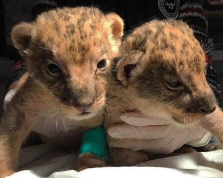 2 лъвчета умряха в Хасково поради немарливост