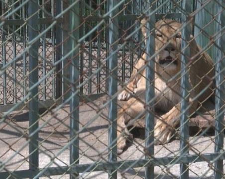 Проверяват хасковския зоопарк заради починалите лъвчета