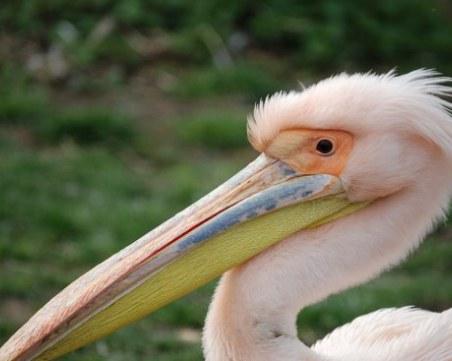 Спасен розов пеликан беше пуснат на свобода в