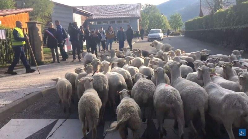 Ученици блеят в клас. Овце на училище във Франция – факт!?