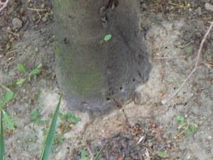 Вандализъм: Пробиха с бормашина плодно дърво в Пловдив