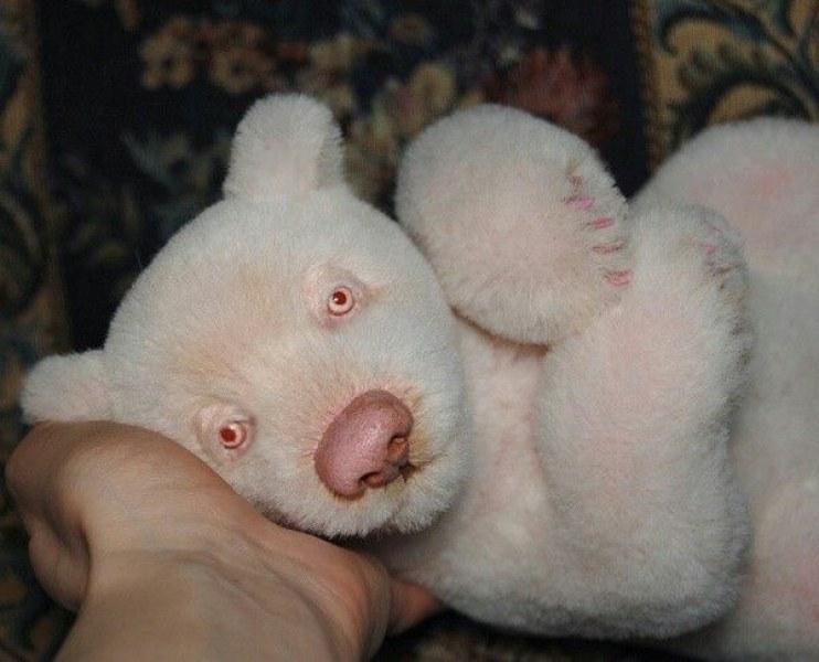 За първи път: Панда албинос бе заснета в китайски резерват