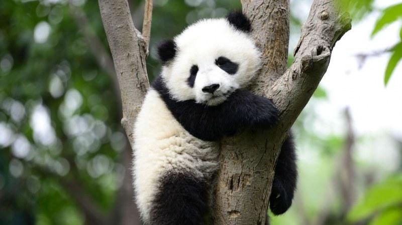 Заснеха панда албинос в Китай. Вижте я!