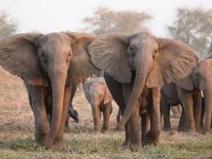 Слонове броят семки с хоботите си!