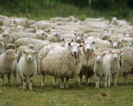 Нелеп инцидент: Стадо овце падна от скалите на Царевец