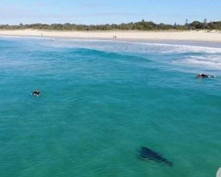 Бяла акула веган - страшният убиец подмина петима сърфисти